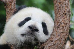Panda, kontrola kvaliteta, pixabay.com