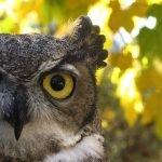 Sova - sinonim za mudrost